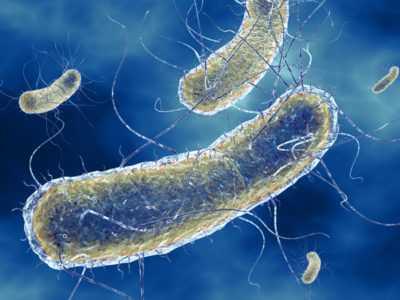 Е. coli – кишечная палочка – типичные характеристики и вызываемые заболевания