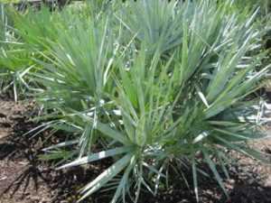 Маленькая пальма под названием Serenoa repens