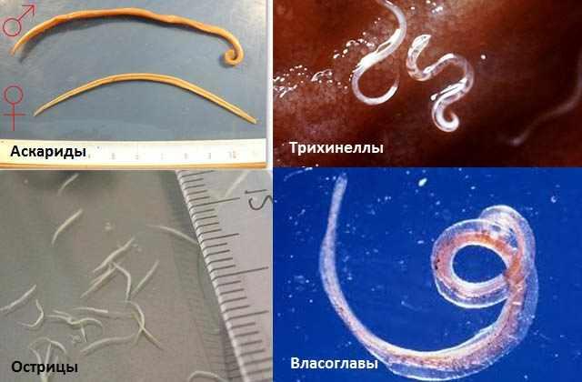 Круглые черви (нематоды)