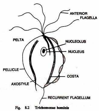 Строение кишечной трихомонады