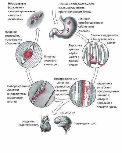 Цикл развития внутри человека