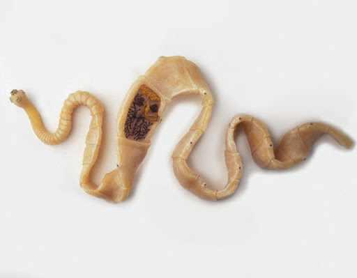 Класс ленточные черви