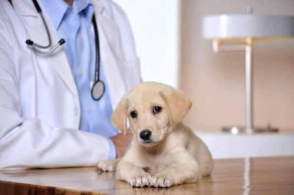 Зачем глистогонить собаку перед прививкой, какие препараты использовать
