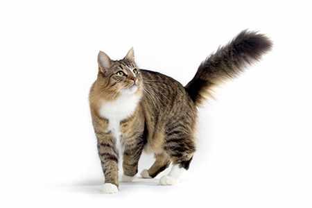 Анкилостомы у кошек