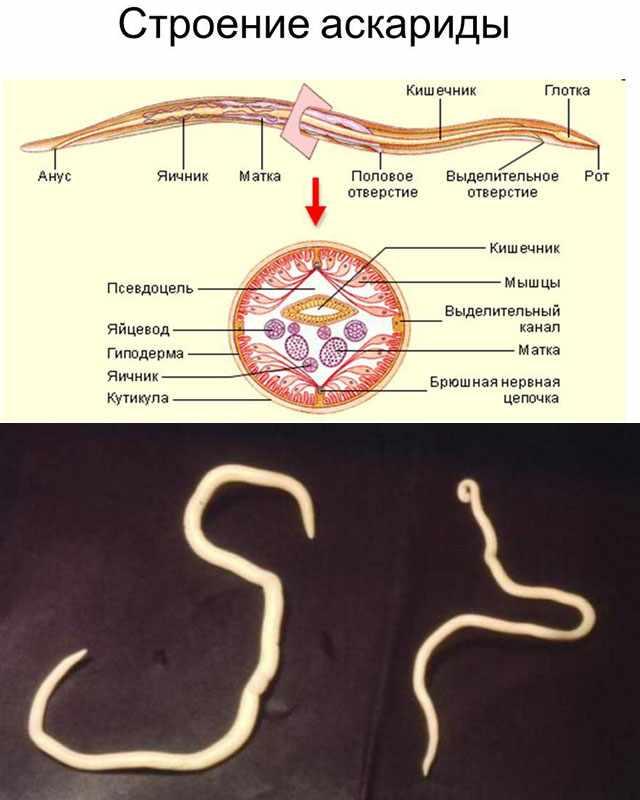 Строение Ascaris suum