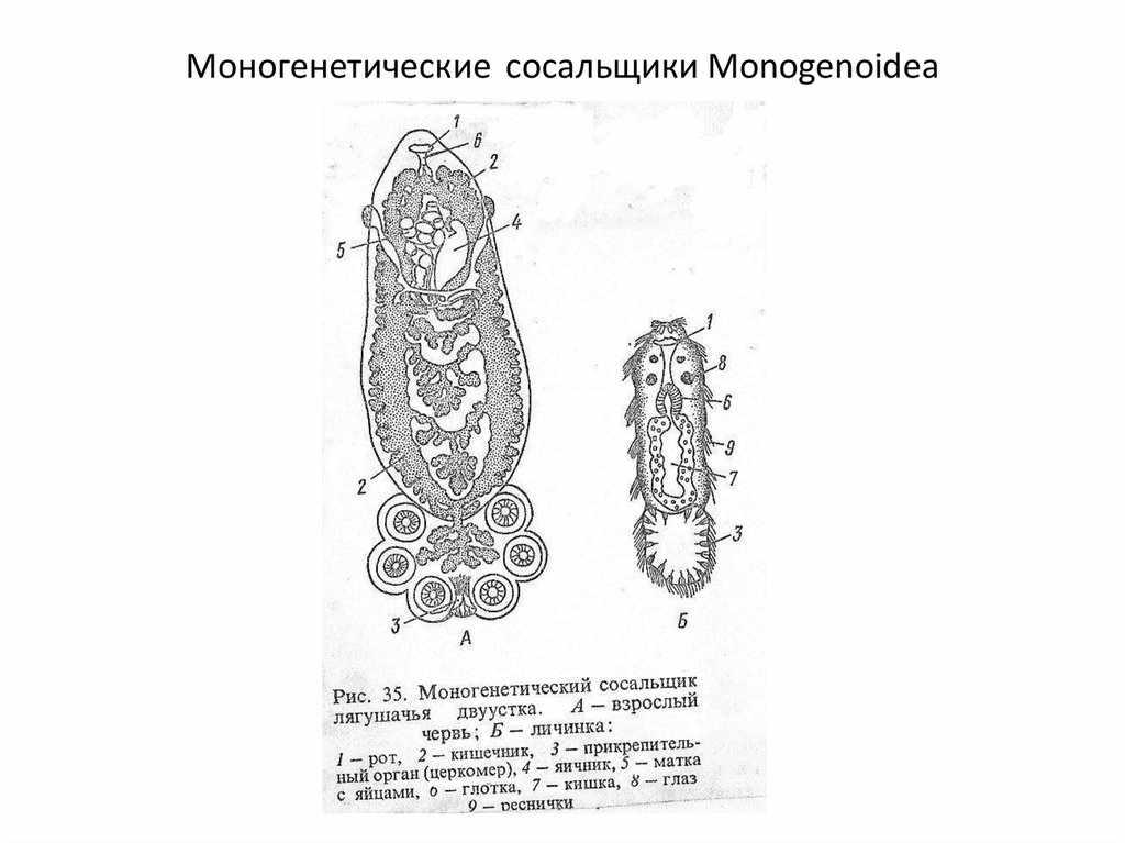 Заражение моногенетическими сосальщиками