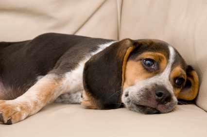 Что дать собаке от глистов