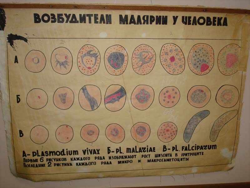 Виды возбудителей малярии