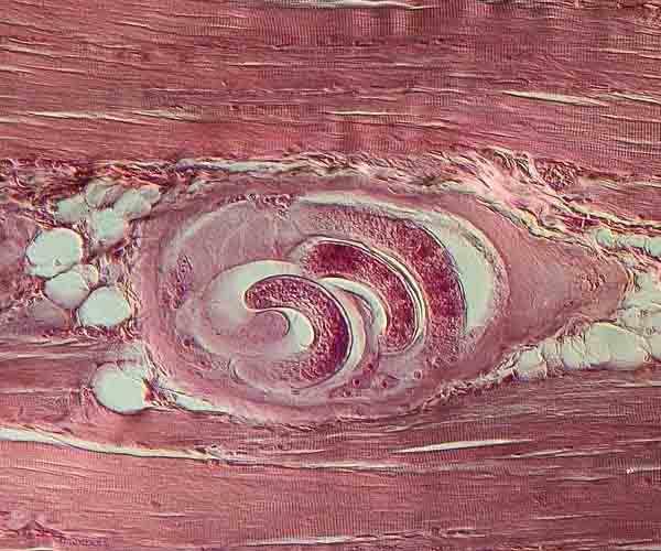 Личинка в мышцах свиньи