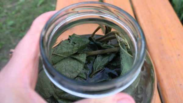 Отвар из листьев лопуха