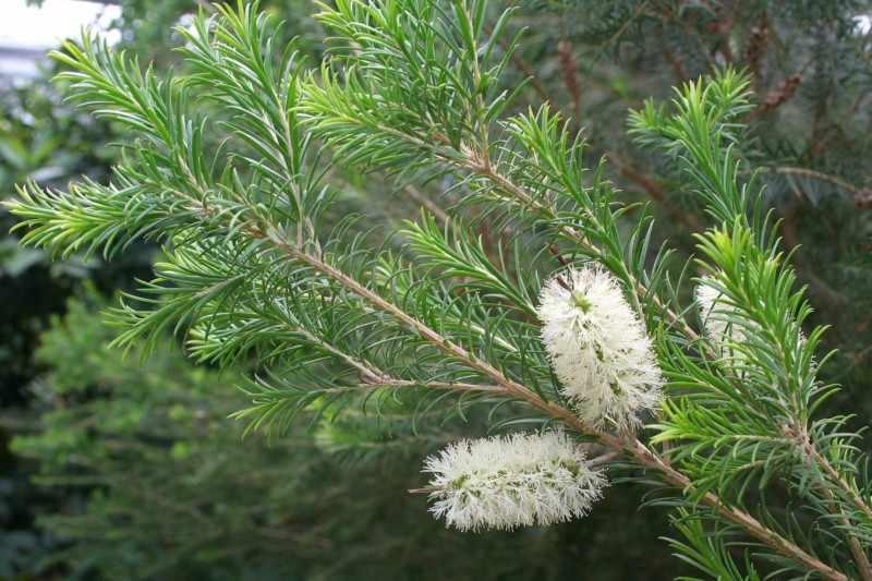 Чайное дерево Melaleuca alternifolia