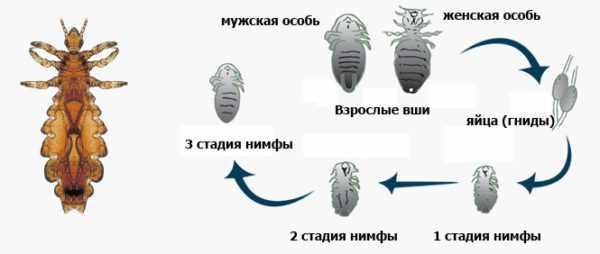Жизненный цикл вши