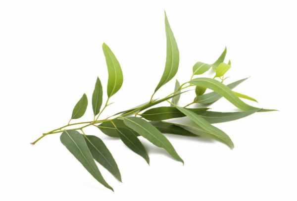 Листья эвкалипта