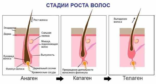 Три стадии роста волос